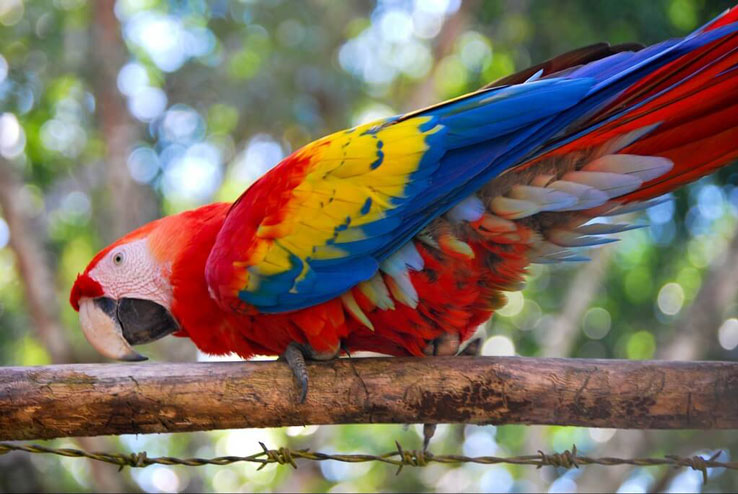 Costa Rica Scarlet Macaws