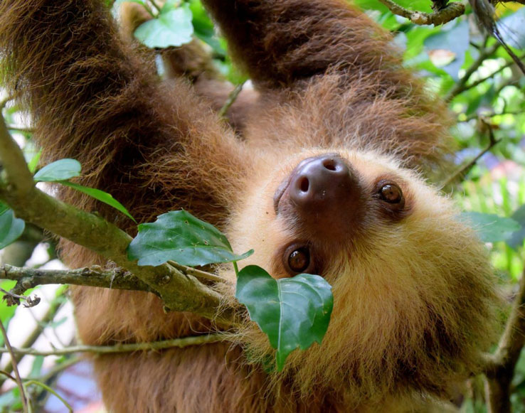 Costa Rica Dominical Sloth