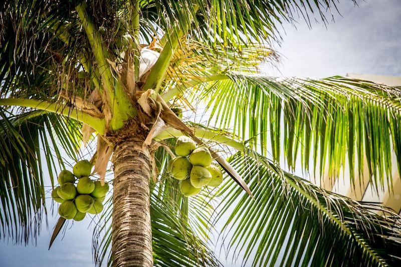 beach-coconut-pipa-fria-costa-rica