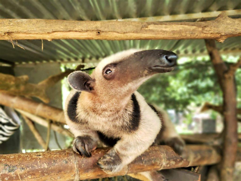 anteater-villas-alturas-wildlife-sanctuary