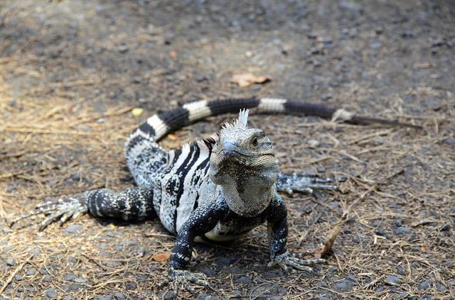reptilandia-iguana-animal-costa-rica