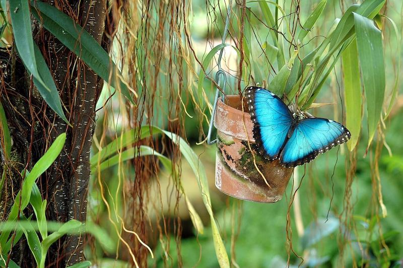 blue-morpho-butterfly-insect-costa-rica