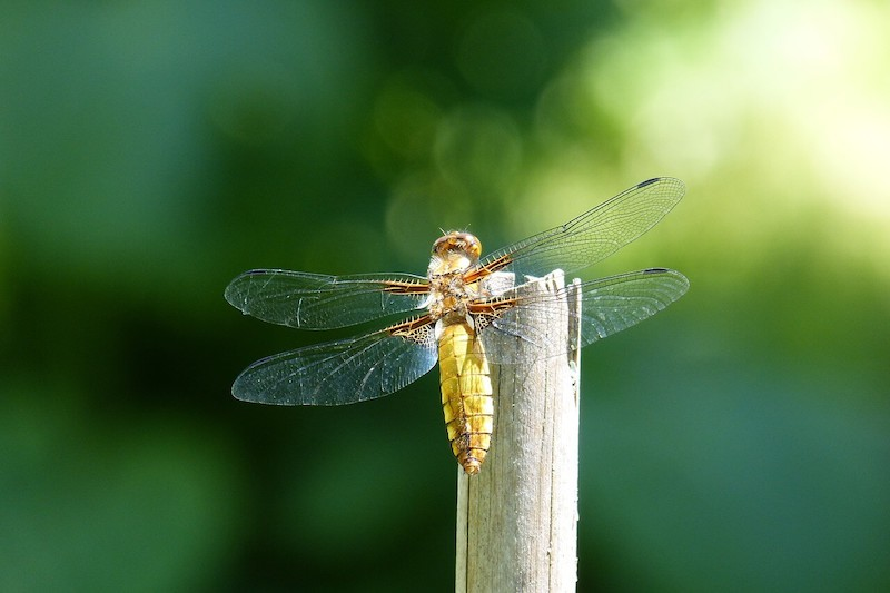 dragonfly-costarica-insect-jungle-tropical