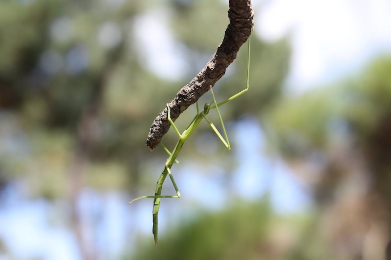 insect-stick-insect-nature-jungle-dominical